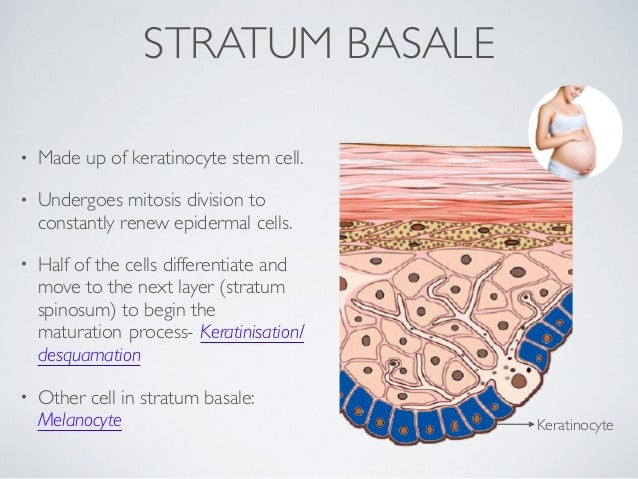 skin introduction (part 1- epidermis), Human Body