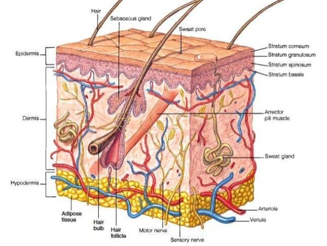 anatomy physiology of skin