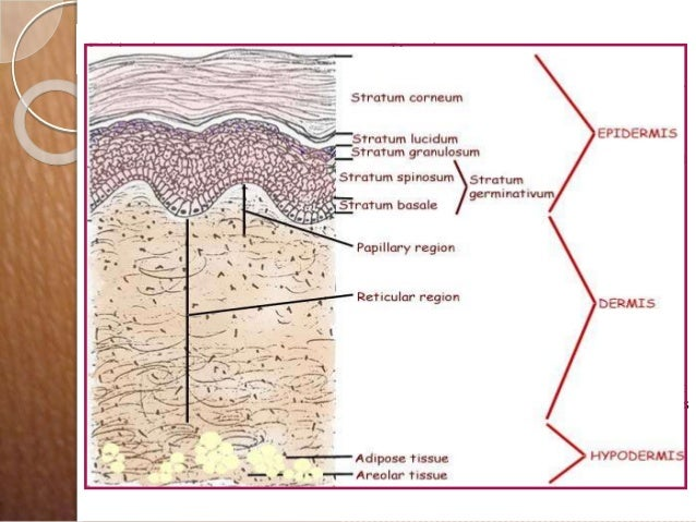 Diagram of layers of skin