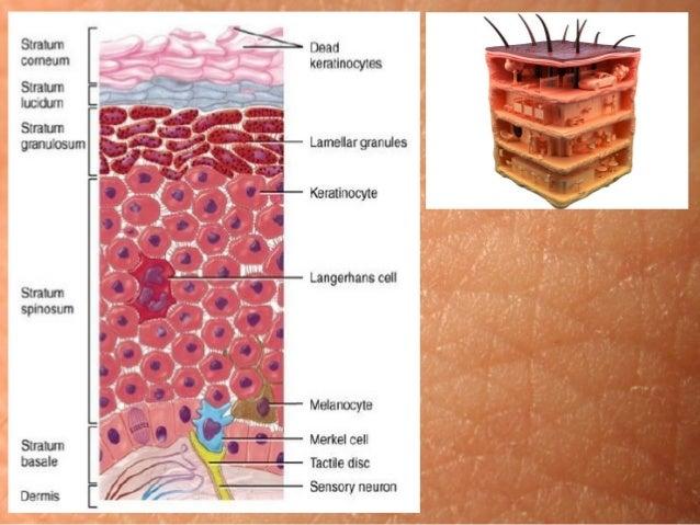 Молекулярна фізіологія шкіри Slide 2
