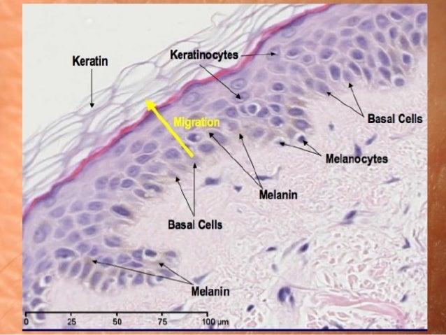 Молекулярна фізіологія шкіри Slide 3