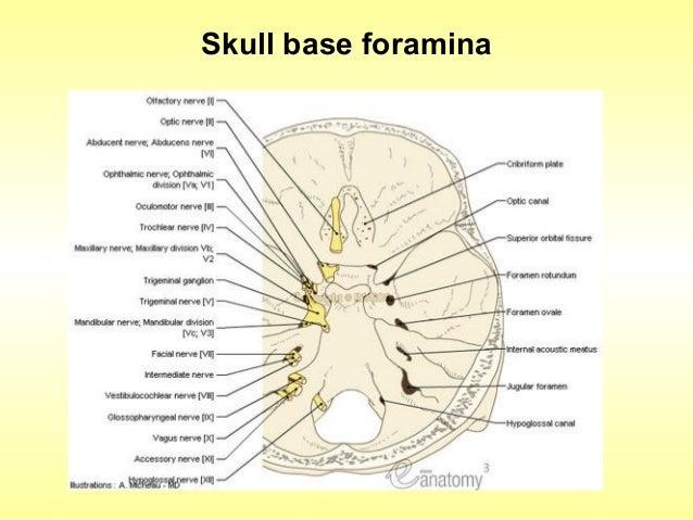 Base of the skull anatomy
