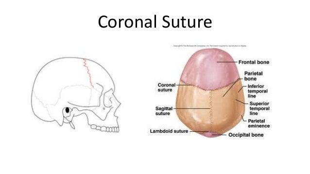 skull bones and features 1