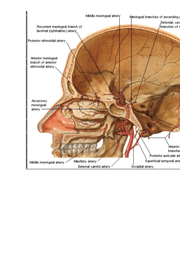 Skull Sinus Diagram Product Wiring Diagrams