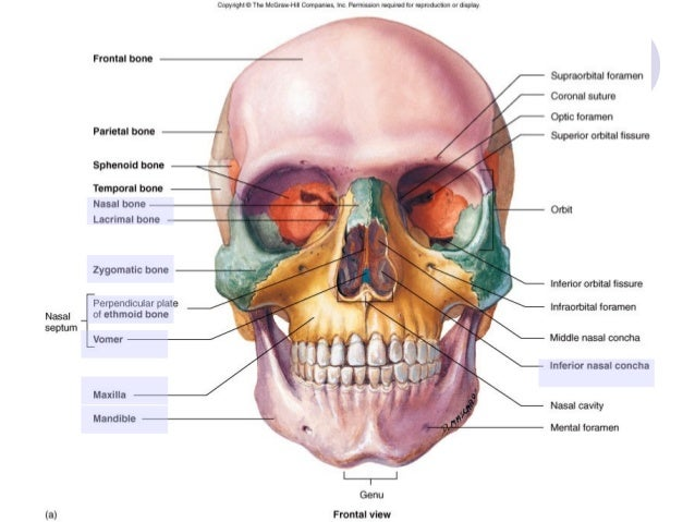 Skull, neck and muscle