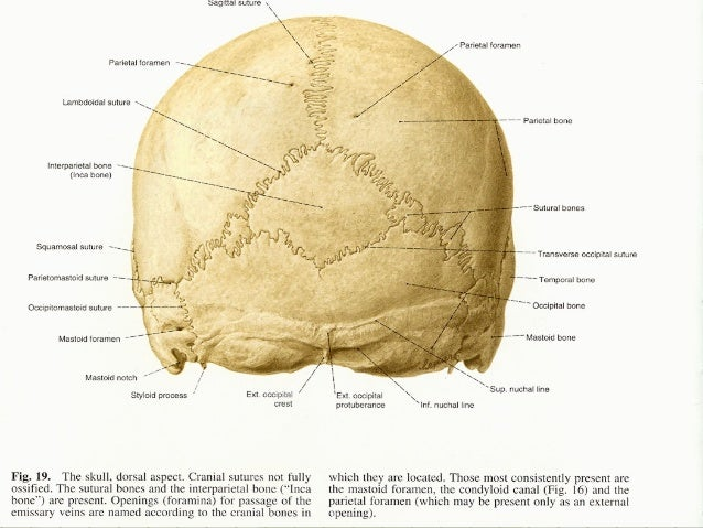 Geography Of The Skull in addition Cervical Vertebrae besides Basic Anatomy Views Importance And Positioning Interpretation Skull Radiography moreover Facial Muscles Diagram Labeled further Pig anatomy poster. on skull lateral view labeled