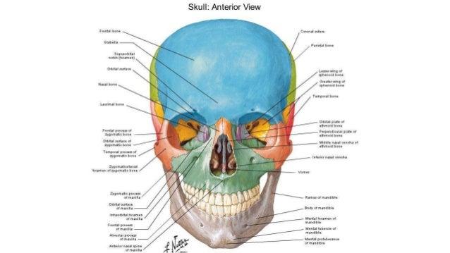 Diagram of facial orbit