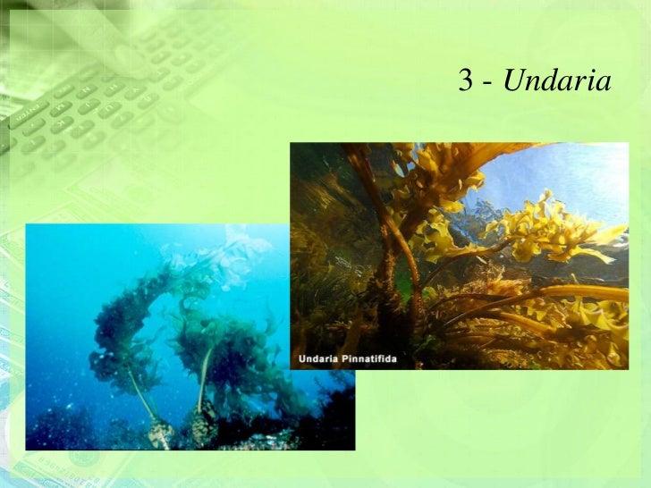 3 - Undaria
