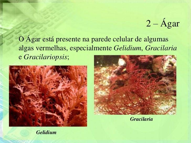 2 – ÁgarO Ágar está presente na parede celular de algumasalgas vermelhas, especialmente Gelidium, Gracilariae Gracilariops...