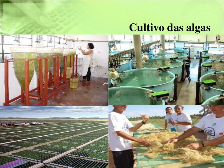 Cultivo das algas