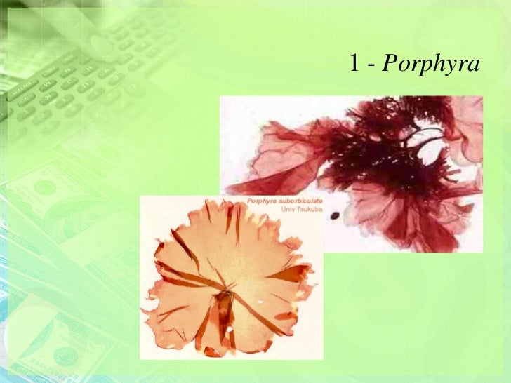 1 - Porphyra