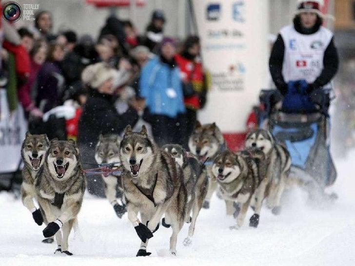 Sled Dog Race Slide 2