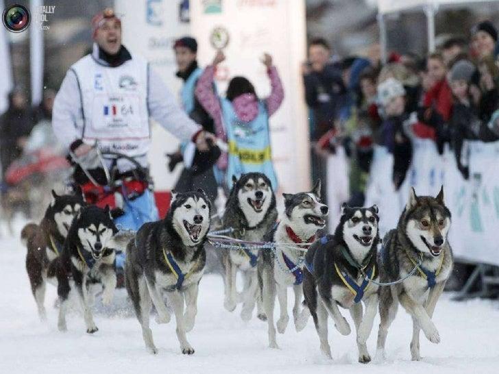 Sled Dog Race Slide 3