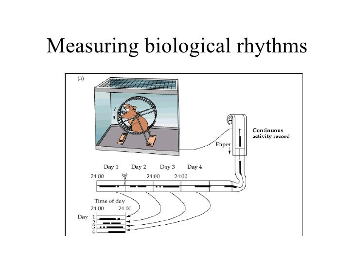 biological rhythms A circadian rhythm is a roughly 24 hour cycle in the physiological processes of living cell regeneration and other biological activities linked to this daily.