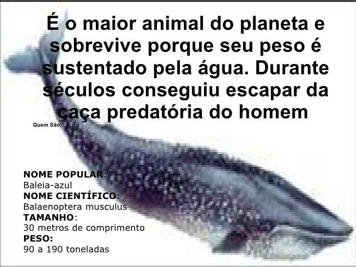 É o maior animal do planeta e sobrevive porque seu peso é sustentado pela água. Durante séculos conseguiu escapar da caça ...
