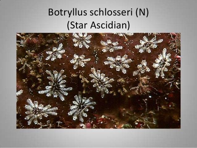 Diplosoma listerianum (I)(compound)