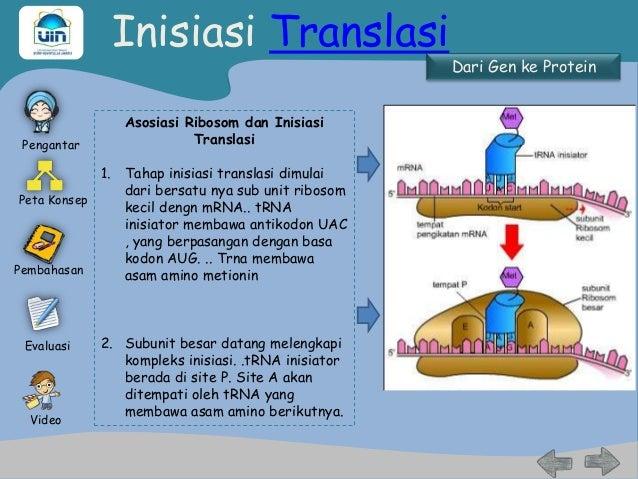 Sintesis protein terminasi video tahapan 22 ccuart Image collections