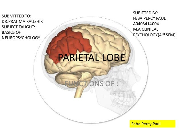 Functions Of Parietal Lobe
