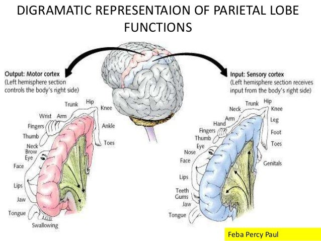 the temporal lobe and parietal lobe The lobe extends superiorly to the sylvian fissure, and posteriorly to an imaginary line the lateral parietotemporal line, which separates the temporal lobe from the inferior parietal.