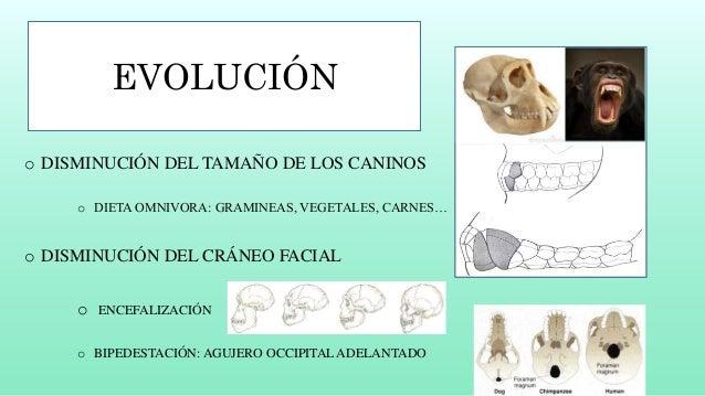 Enfermedad de la evolución del aparato masticatorio humano Slide 3