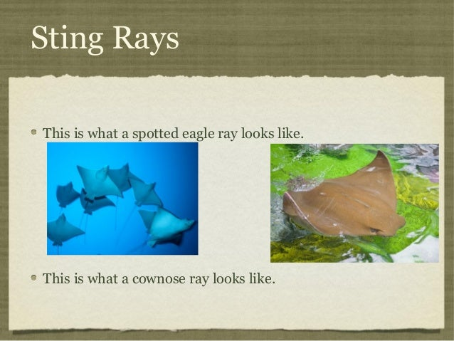 Sting Rays This is what a spotted eagle ray looks like.  This is what a cownose ray looks like.