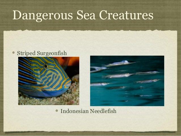 Dangerous Sea Creatures Striped Surgeonfish  Indonesian Needlefish