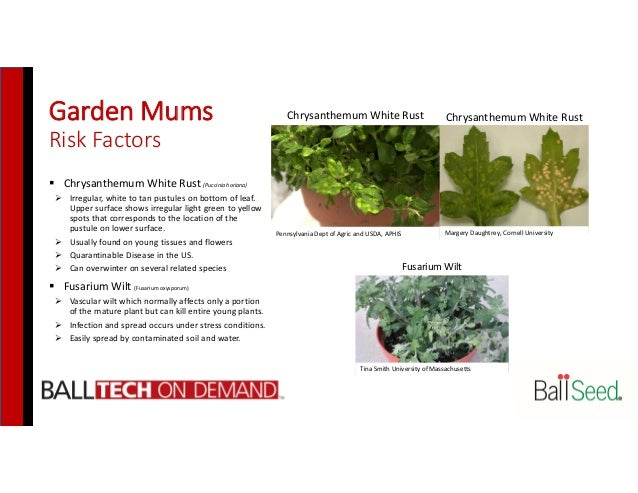 Garden Mums Risk Factors  Chrysanthemum White Rust (Puccinia horiana)  Irregular, white to tan pustules on bottom of lea...