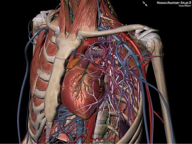 Use Visible Body\'s 3D images to explain the location of the heart and…