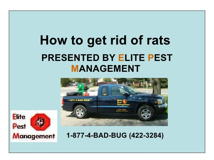 How to get rid of rats   PRESENTED BY  E LITE  P EST  M ANAGEMENT   1-877-4-BAD-BUG (422-3284)