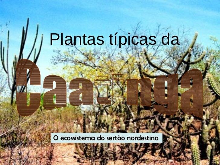 Plantas típicas da     O ecossistema do sertão nordestino