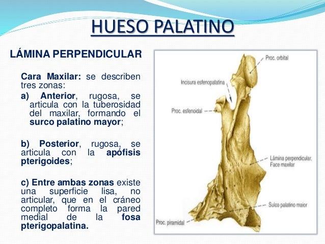Huesos de la cara anatomia (2)