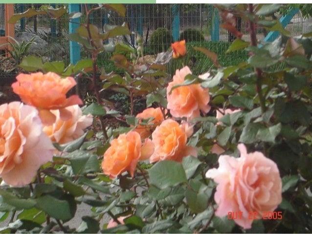 """""""Sapiranga, cidade das rosas, do vôo livre e do Ferrabraz, tu és a esperança que embala o sonho de um mundo melhor."""" (Natá..."""