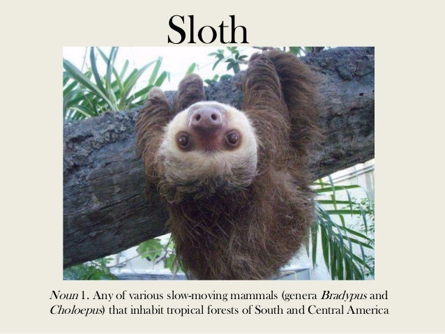 Sloth  Noun 1. Any of various slow-moving mammals (genera Bradypus and Choloepus) that inhabit tropical forests of South a...