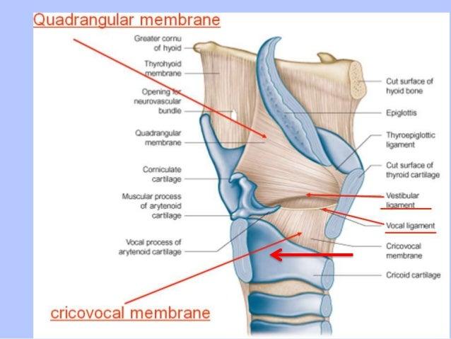 Smacc 2014 cric anatomy slides ccuart Images