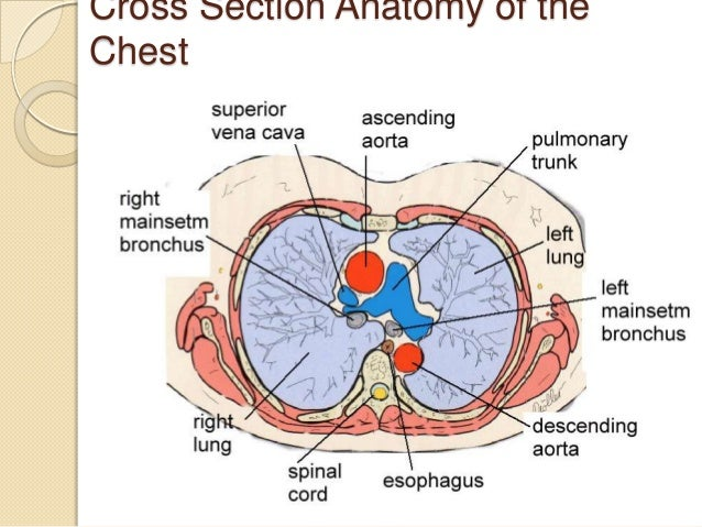 Small cell lung cancer cross section anatomy of thechest ccuart Images
