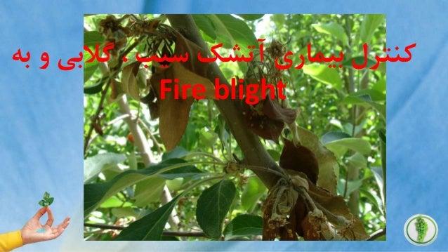. گالبی ، سیب آتشک بیماری کنترلبه و Fire blightبه