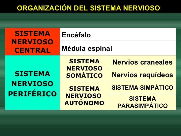ORGANIZACIÓN DEL SISTEMA NERVIOSO   SISTEMA PARASIMPÁTICO SISTEMA SIMPÁTICO SISTEMA NERVIOSO  AUTÓNOMO Nervios raquídeos N...