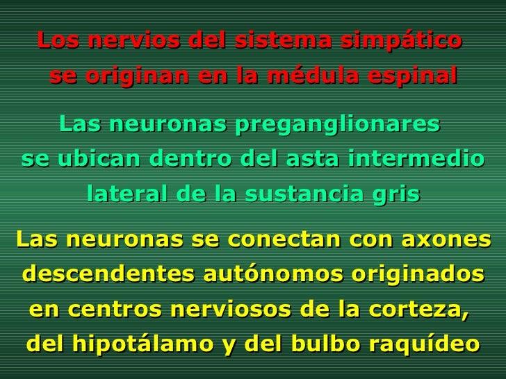 Las neuronas preganglionares  se ubican dentro del asta intermedio lateral de la sustancia gris Los nervios del sistema si...