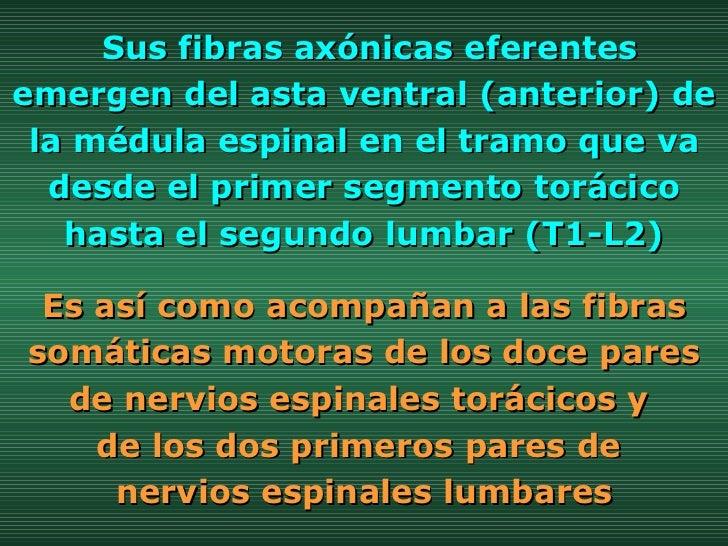 Es así como acompañan a las fibras somáticas motoras de los doce pares de nervios espinales torácicos y  de los dos primer...