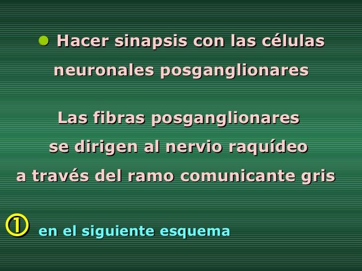    Hacer sinapsis con las células neuronales posganglionares Las fibras posganglionares  se dirigen al nervio raquídeo  a...