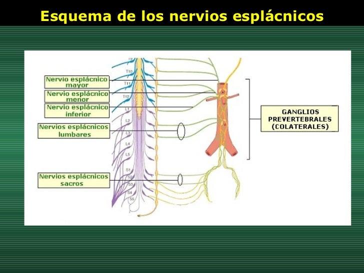 Esquema de los nervios esplácnicos