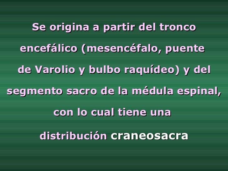 Se origina a partir del tronco encefálico (mesencéfalo, puente  de Varolio y bulbo raquídeo) y del segmento sacro de la mé...