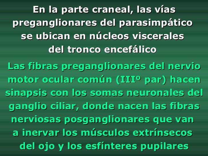 En la parte craneal, las vías preganglionares del parasimpático  se ubican en núcleos viscerales  del tronco encefálico  L...