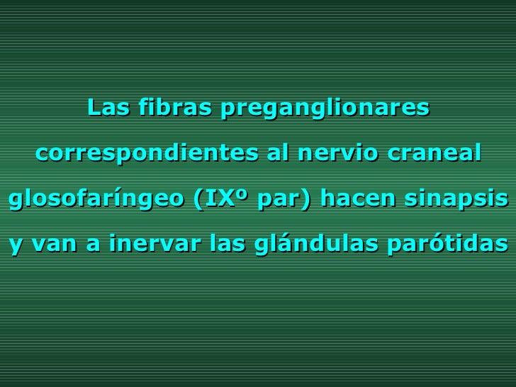 Las fibras preganglionares correspondientes al nervio craneal glosofaríngeo (IXº par) hacen sinapsis y van a inervar las g...