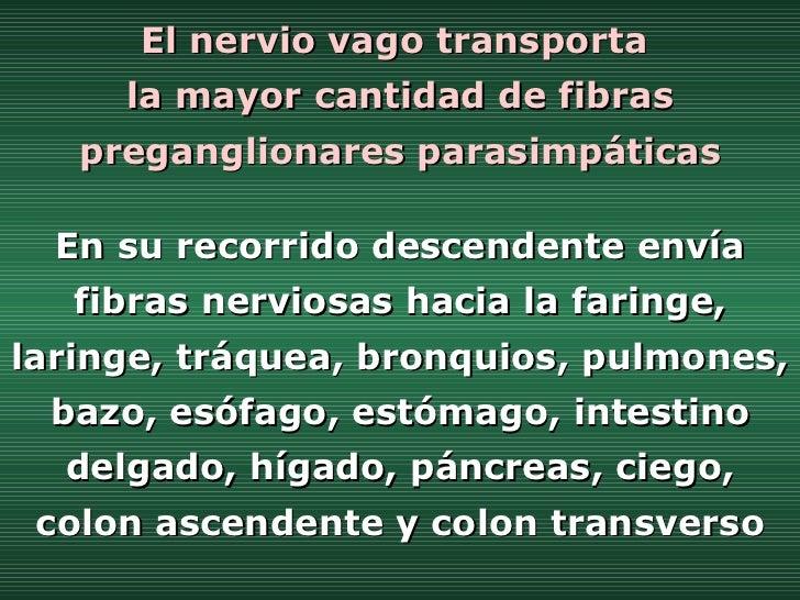 El nervio vago transporta  la mayor cantidad de fibras preganglionares parasimpáticas En su recorrido descendente envía fi...