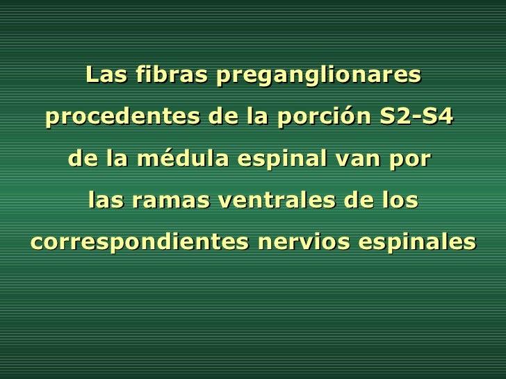 Las fibras preganglionares procedentes de la porción S2-S4  de la médula espinal van por  las ramas ventrales de los corre...