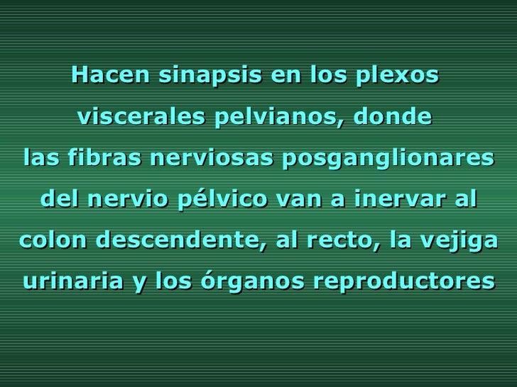 Hacen sinapsis en los plexos  viscerales pelvianos, donde  las fibras nerviosas posganglionares del nervio pélvico van a i...