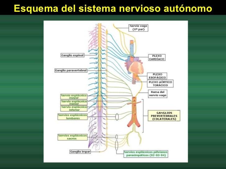 Esquema del sistema nervioso autónomo