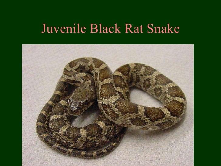 Juvenile Black Rat Snake