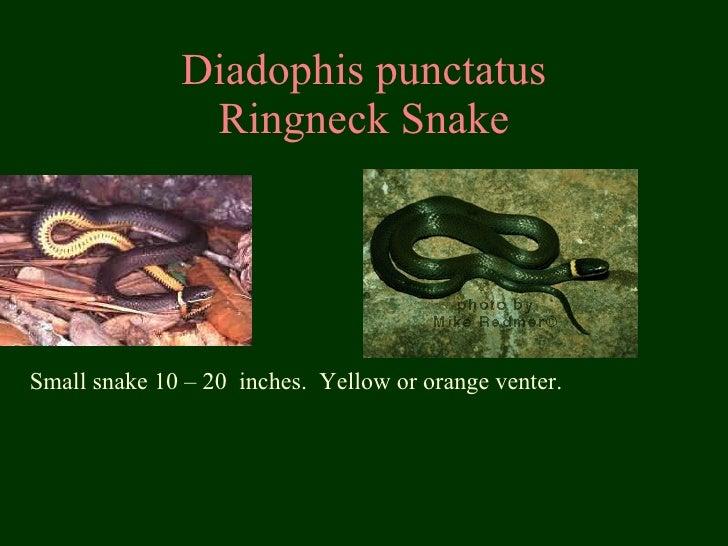 Diadophis punctatus Ringneck Snake Small snake 10 – 20  inches.  Yellow or orange venter.